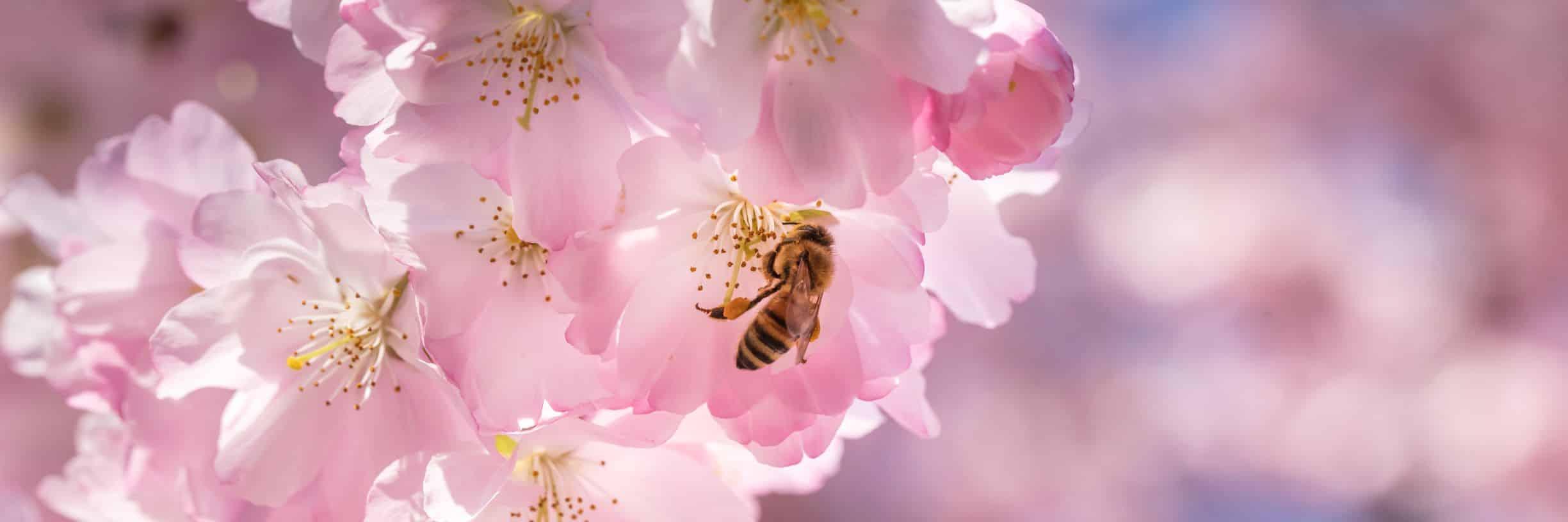 abeille, pollen