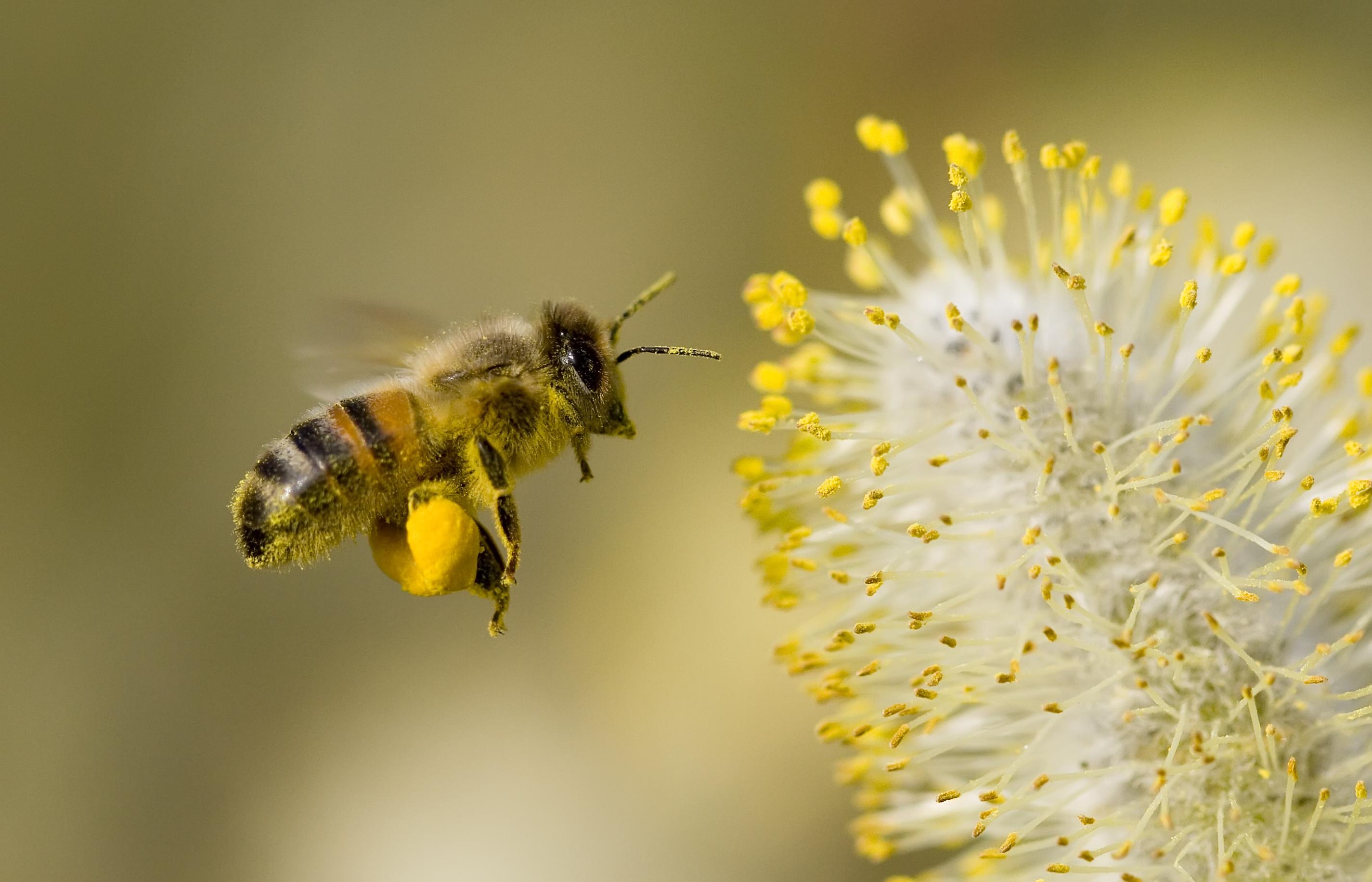 pollen, abeille